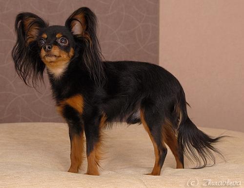 Chiens russkiy toy petit chien russe 055ffb7d 0f8e 20b4 8db5 497f6e0d89f9
